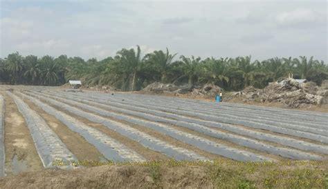 harga sawit kolap petani siak alih komoditas menjadi