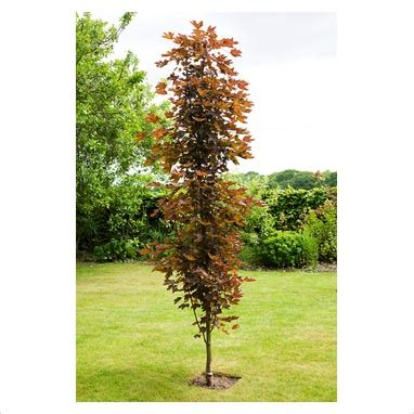 top 28 upright trees for small gardens amelanchier alnifolia obelisk trees for small