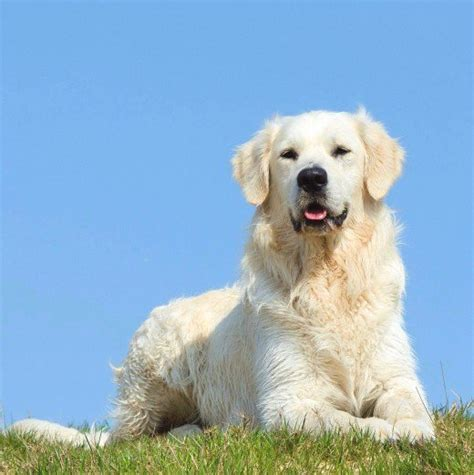 golden retriever hair length the about white golden retrievers pethelpful