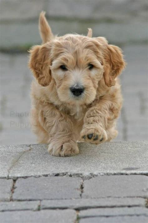 doxie doodle puppies for sale 17 best images about mixed breed mongrels on