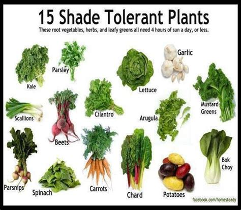 What Garden Vegetables Like Shade Shade Tolerant Veggies Kitchen Garden