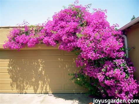 The Secrets Of Bougainvillea: Sharing All I Know About