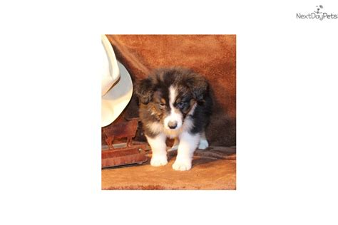 puppies for sale in western ma black tri boy 2 australian shepherd puppy for sale near western massachusetts