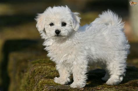 photo collection related pictures dogs bichon