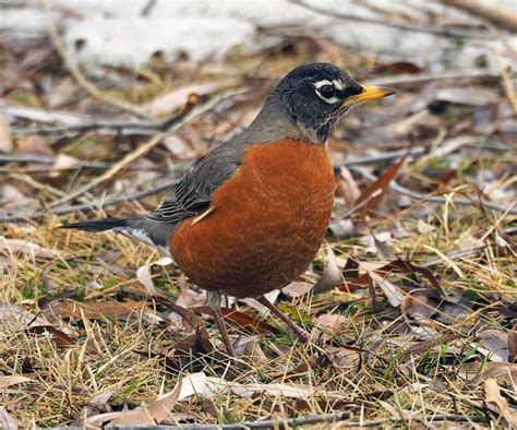 american robin migration news