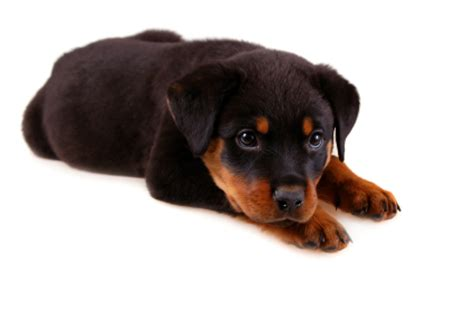 puppy rottweiler tips how to a rottweiler puppy thedogtrainingsecret the secret