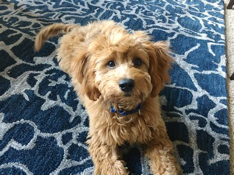 goldendoodle puppy omaha puppy goldendoodle pets wallpapers