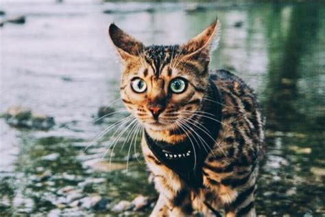 how to your to walk on the lead 10 most beautiful cats on instagram styletails