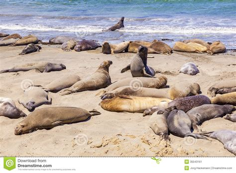 Elephant Seals At The Beach Near San Simeon, California ...