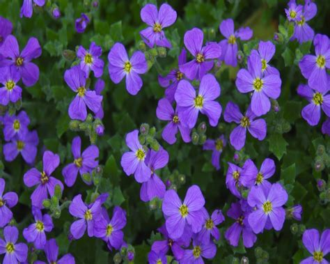 plant with purple flowers flowers wallpapers daertube