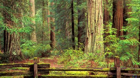 wallpaper hd 1920x1080 forest redwood forest wallpapers wallpaper cave