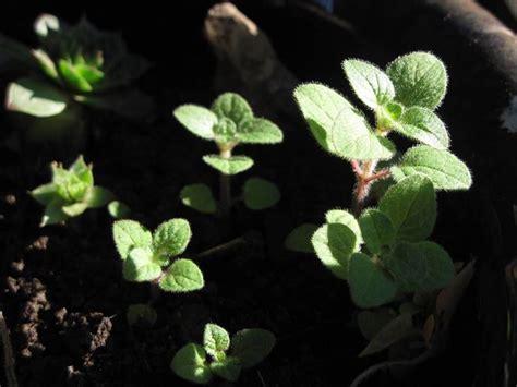 come coltivare l origano in vaso coltivare origano aromatiche come coltivare l origano