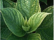 Mint Leaves Wallpaper | Full Desktop Backgrounds Mint Leaves Wallpaper