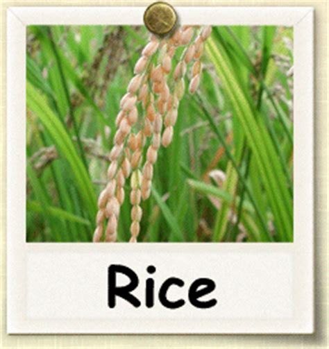 how to grow rice guide to growing rice