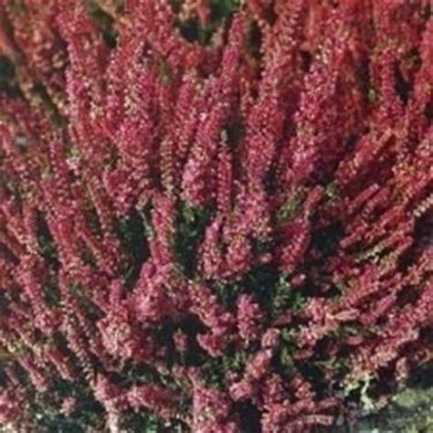 fiori di erica erica linguaggio dei fiori erica linguaggio dei fiori