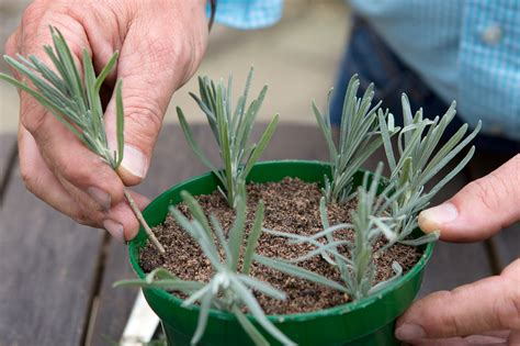 Lavendel Stecklinge by How To Take Lavender Cuttings Gardenersworld