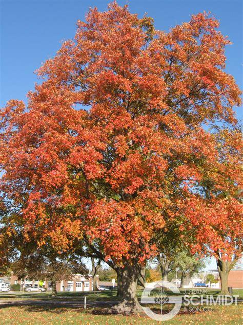 oregon maple trees driverlayer search engine