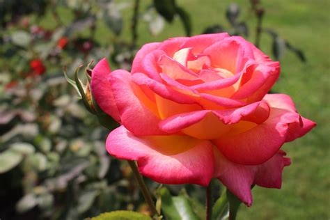how to grow the best roses in your garden clickhowto