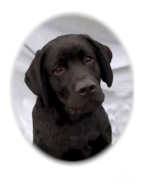 Labrador Retriever Artwork by Labrador Retriever 504 Digital Art By Larry Matthews