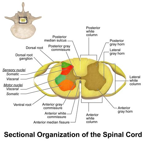 describe the cross sectional anatomy of spinal cord wide dynamic range neuron wiki everipedia