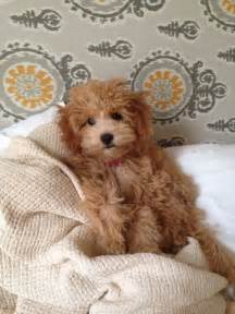 mini doodle mini goldendoodle looks like a teddy so