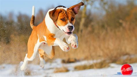 wallpaper dog pit bull dogs wallpapers pitbull dog new wallpapers