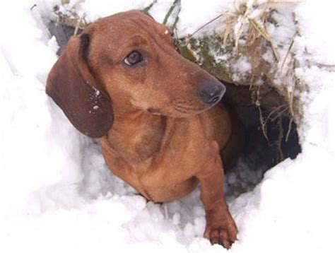 7 Facts On Dachshunds by 7 Cool Facts About Dachshunds