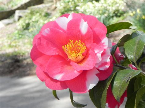 japanese camellia tree with flowers nature photo gallery