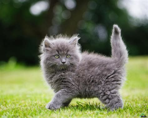 grey kitten wallpaper download wallpaper fluffy gray kitten 1280 x 1024
