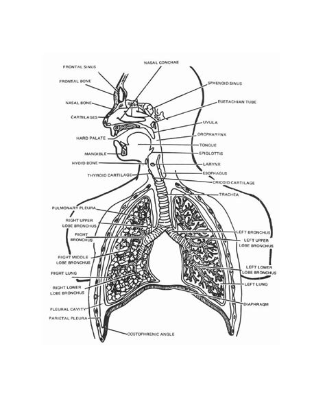 Respiratory System Coloring Worksheet Coloring Pages Respiratory System Coloring Page