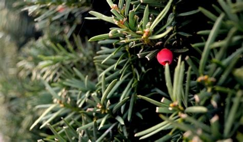 how to preserve your christmas tree louisiana nursery
