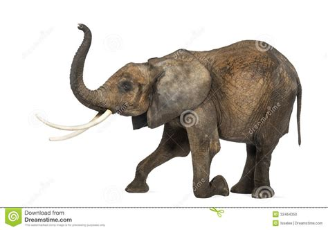 Side View Of An African Elephant, Kneeling, Performing ...