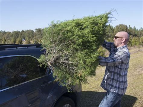 christmas tree farms pensacola families flock to milton tree farm to kick holidays