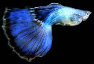guppies colors clasificaci 243 n por color guppy elguppy