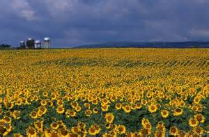 sunflower farm post apocalyptic food canned butter diy or die survival in a post apocalyptic world
