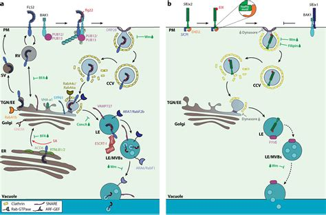 pattern recognition receptors in plants and effectors in microbial pathogens annual review of phytopathology a moving view