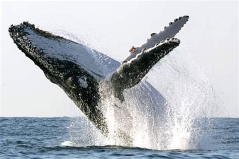 Luca Kid Biru a humpback whale jumps out of the abc news