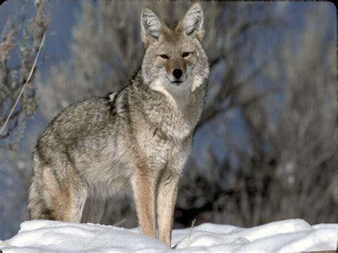 wallpaper serigala hitam gambar serigala dunia binatang