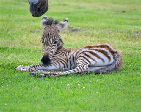 Baby Zebra baby zebras www pixshark images galleries with a bite