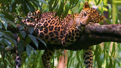 imagenes para fondo de pantalla leopardos leopardos fondos de pantalla en 4k lanaturaleza es