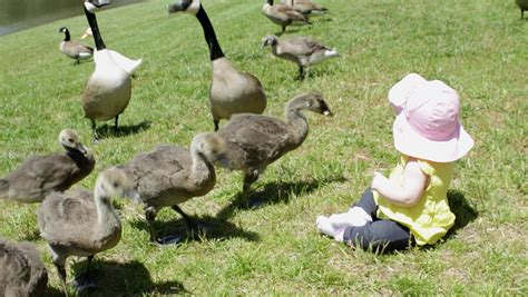 a cute infant girl sits among geese while they eat bread