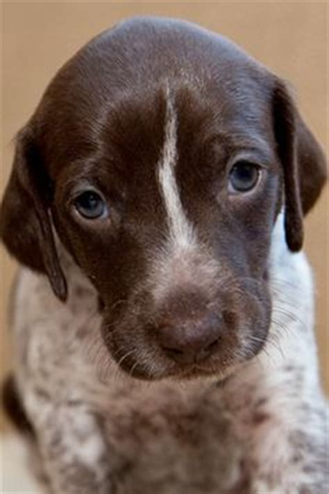 german shorthaired pointer puppies ny gsp puppies pointers and puppys on