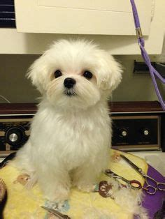 hair cut for maltese around the mouth maltipoo haircuts purchasing from backyard breeders pet