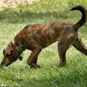 brindle colored dogs brindle colored breeds breeds picture