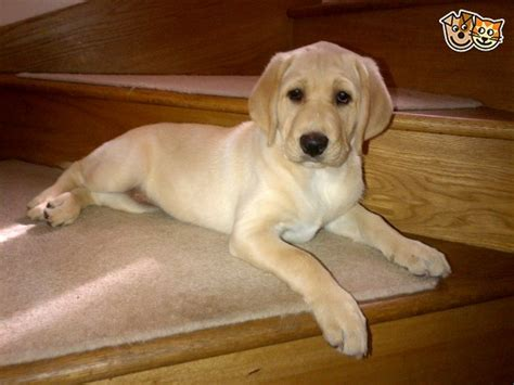 labrador doodle puppies sale uk gorgeous and golden f1b labradoodle puppy