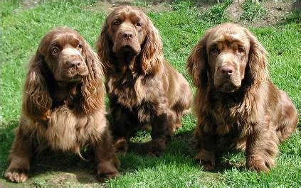 sussex spaniel puppies july 2011 top breeds
