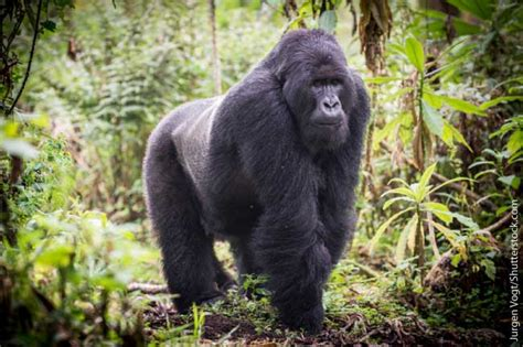 amazon rainforest animals gorilla mountain gorilla facts pictures video in depth information