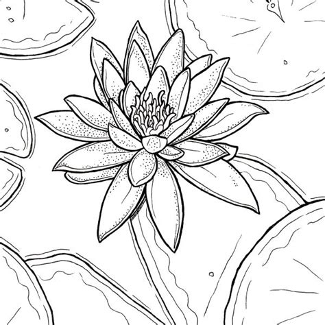 coloring page water lily free printable water lily coloring page download ryanne