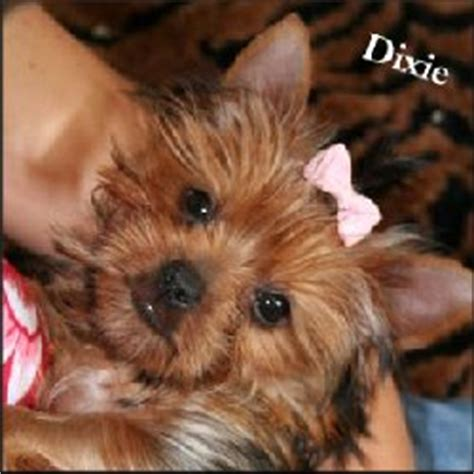 how to help yorkies mate we need your help with liver shunt