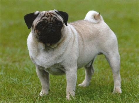 prices for pugs 17 best images about hyderabad dogs and puppies for sale on chihuahua